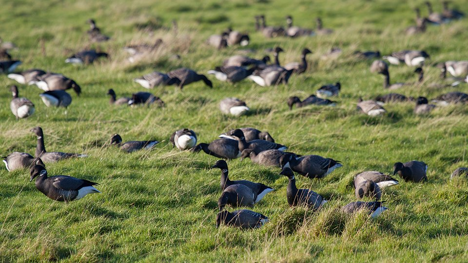 The area is home to over-wintering wildfowl such as Brent Geese