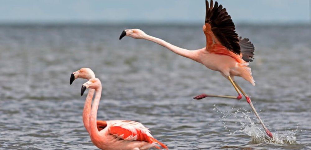 Mar Chiquita is home to about 318,000 Chilean flamingos