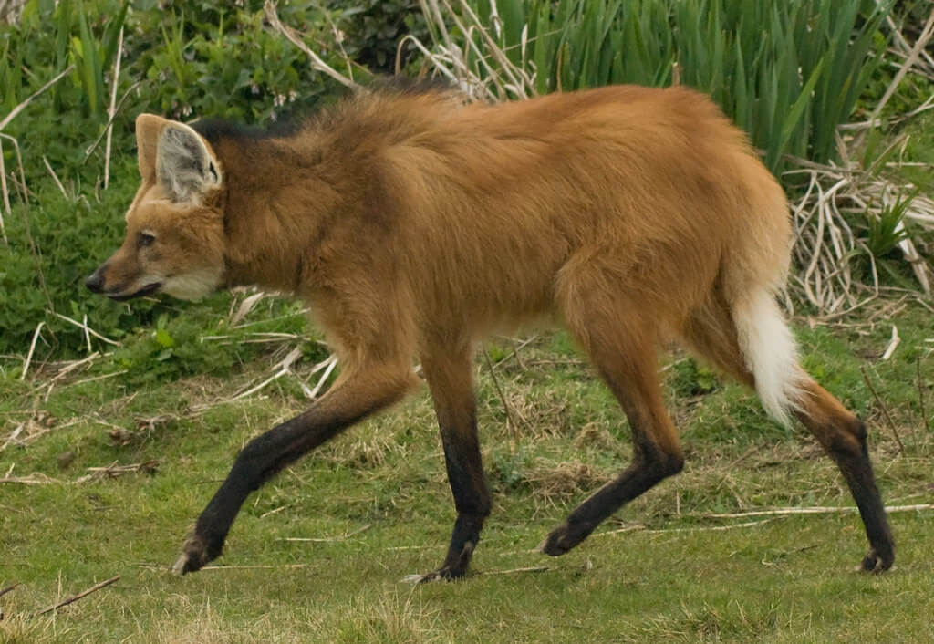 This is a Maned Wolf - they are also known as the fox on stilts!