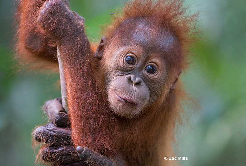 Help create a new forest orangutans - click here to donate