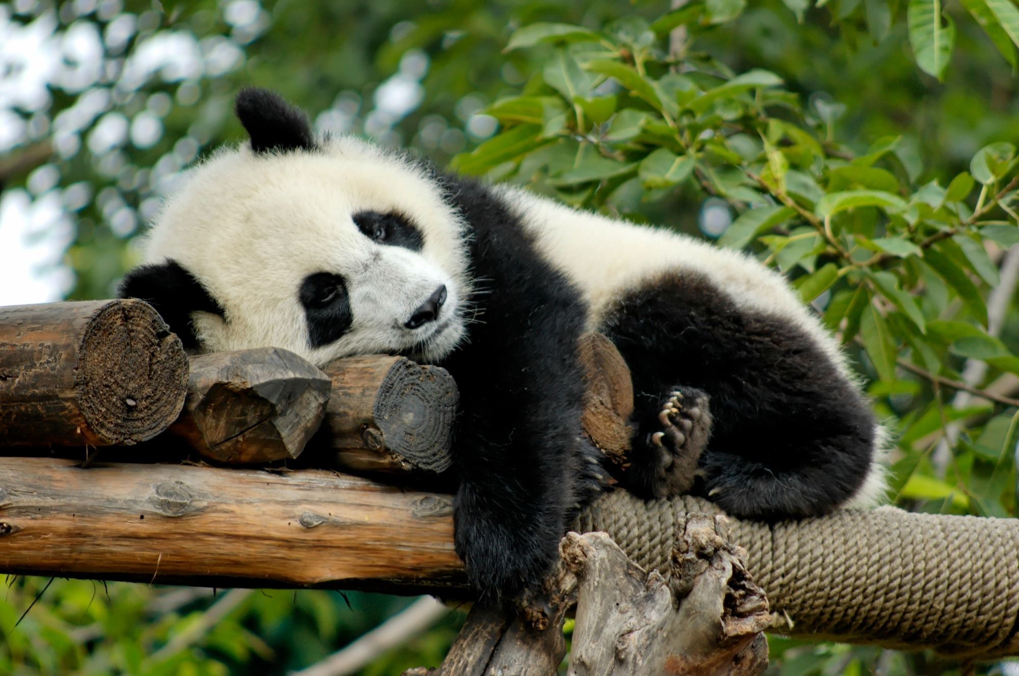Conservation has already made a difference to pandas