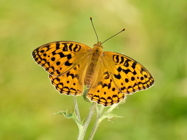 Help the High Brown Fritilliary