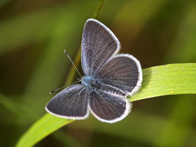 Conservation efforts to help the Small Blue have been successful