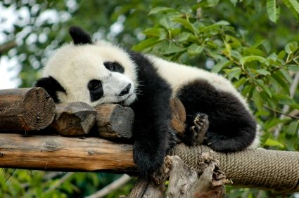 Every panda needs their sleep
