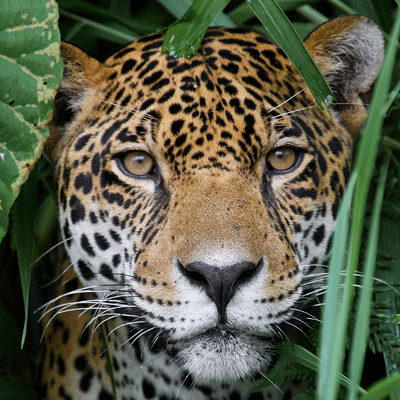 Score a goal for jaguar conservation and donate to this appeal