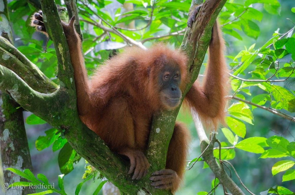 Reclaim and restore forests for orangutans