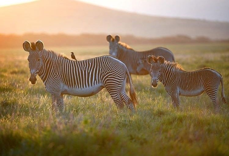 Lewa recorded an increase in the survival rate of Grevy's zebra foals