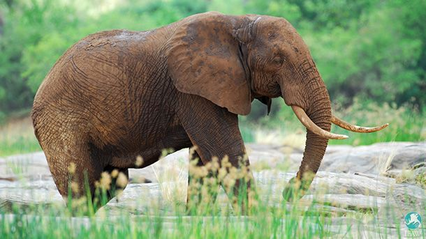 The Tsavo Conservation Area is home to nearly 13,000 elephants