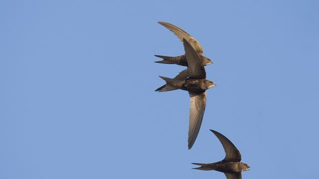 Swifts arrive in the UK for the summer