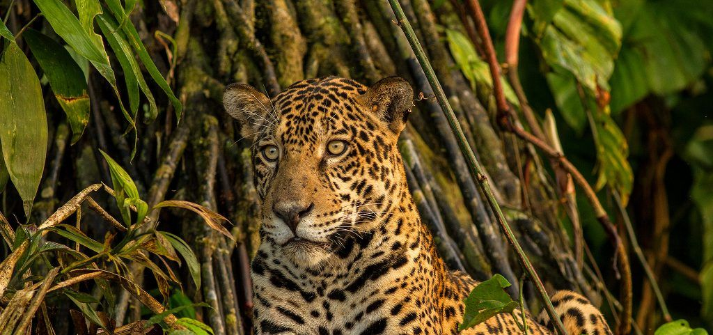 Find out more about the Jungle for Jaguars Appeal