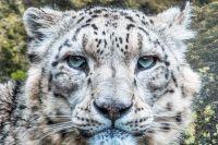 Save snow leopard paradise