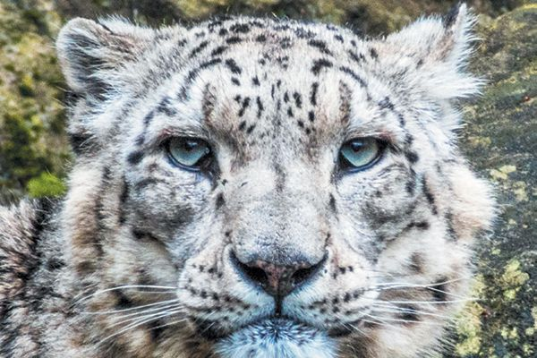 Save snow leopard paradise