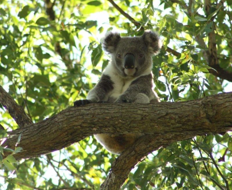 Bangalow Koalas and IFAW are helping to create a wildlife corridor for me