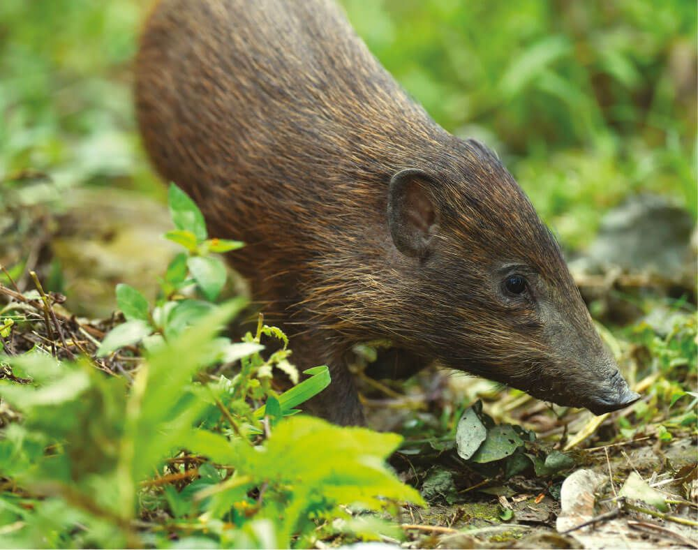 Pygmy hogs need help - they need grasslands to recover