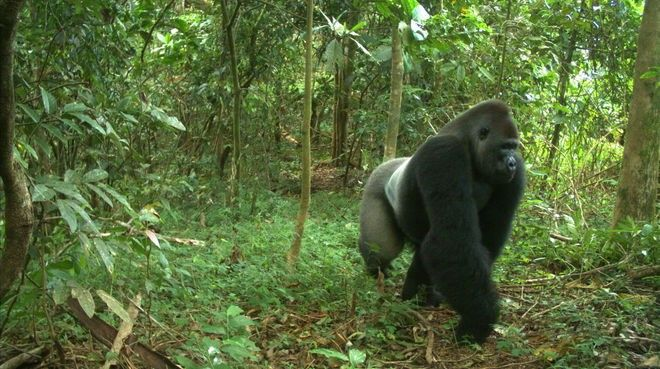 Help gorillas now and sign Rainforest Rescue's petition