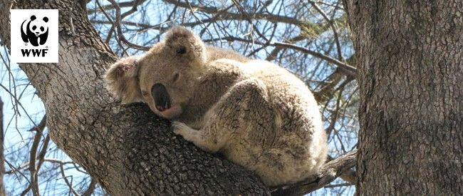 Koalas need trees.   Trees have been burnt down in wildlifes, killing koalas and leaving them homeless. But we can all help.