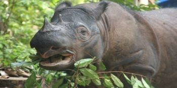 Please help save Sumatran Rhinos
