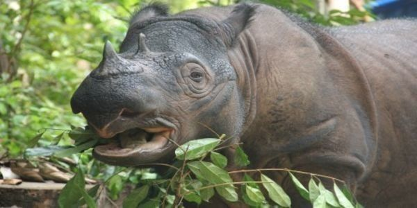 Ask the Indonesian Government to save Sumatran Rhinos from extinction