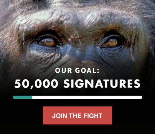 Will you pledge your support for chimps?