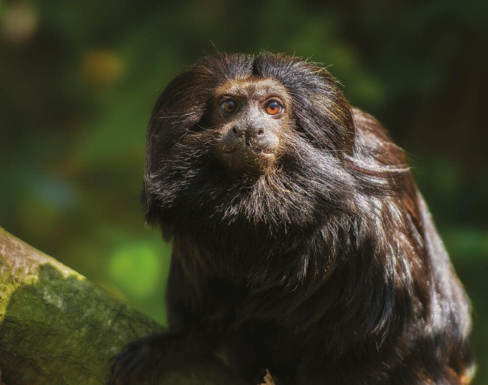 Help wildlife such as the black lion tamarin, the jaguar, the puma, and ocelot