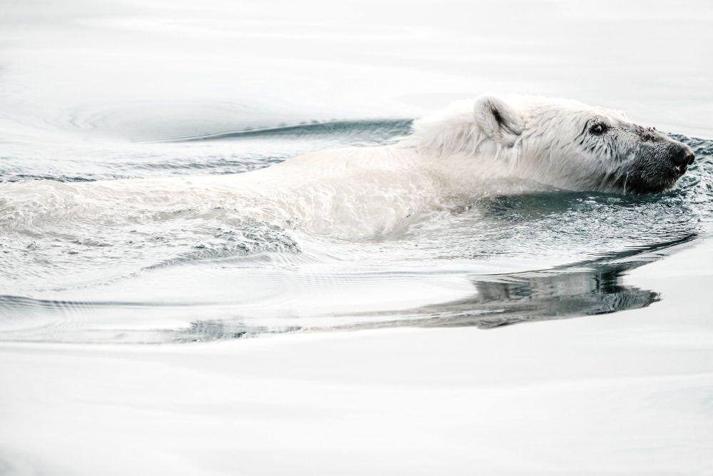 My polar bear adoption made me wonder how far Nanuk had to swim to find food