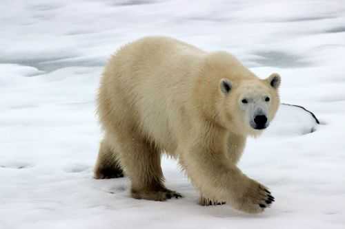Find out about climate change from Polar Bears International