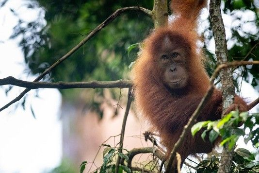 Swing over to the Sumatran Orangutan Society to find out more