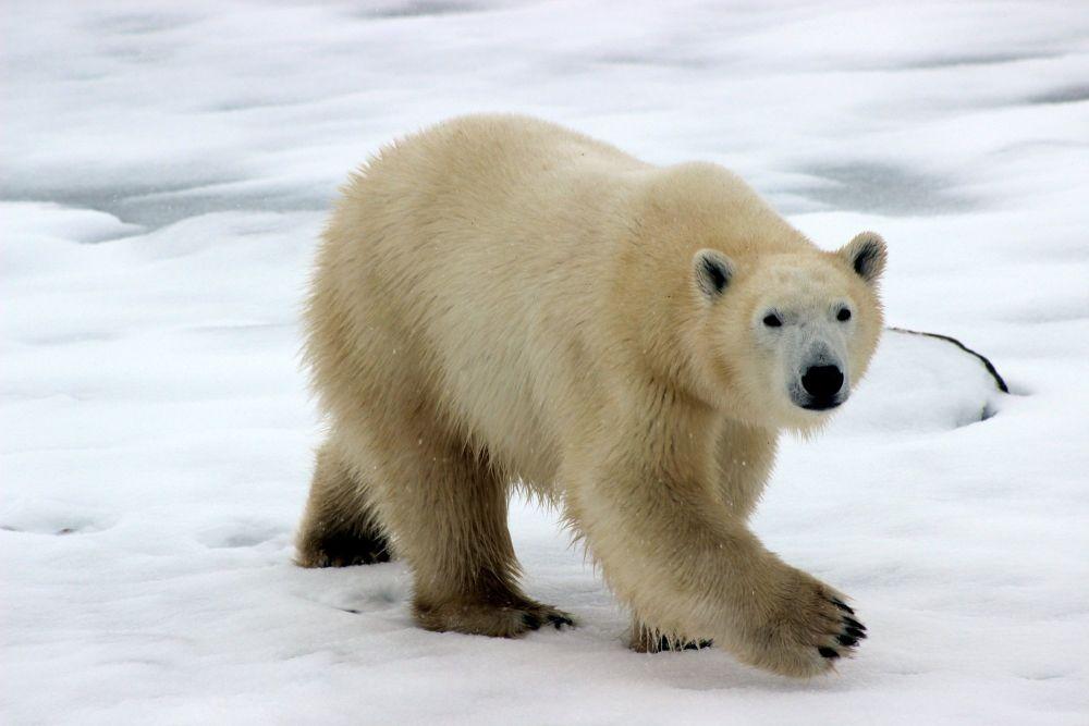 Polar bears are magnificent animals