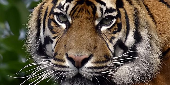 Please help Sumatran tigers with a £3 donation