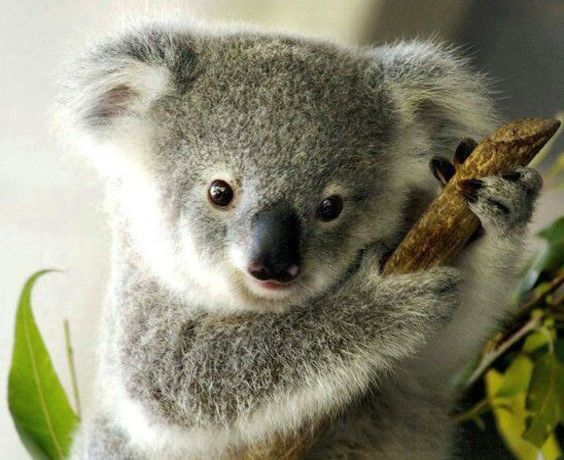 Save the Koala - Join the Koala Army