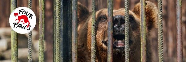 Help Four Paws rescue the President Bears