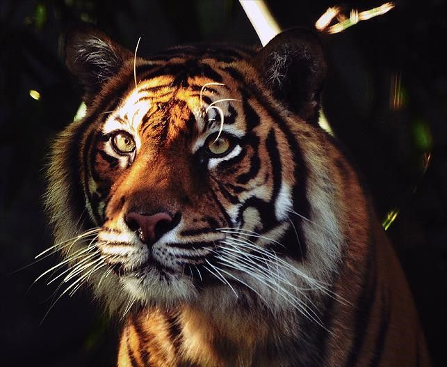 Help Fauna and Flora International protect tigers