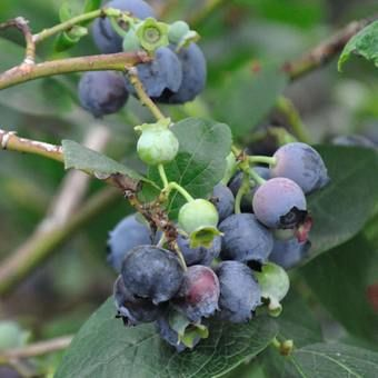 Grow your own fruit, or give a fruit tree or bush to a loved one as a gift!