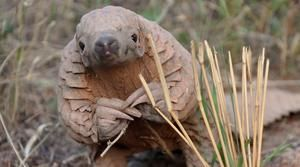 Click to tell Facebook to shut down its disturbing pangolin trade