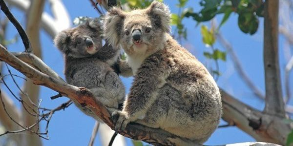 Koalas Will Go Extinct If We Don't Stop Rampant Deforestation - Please sign this petition to help them