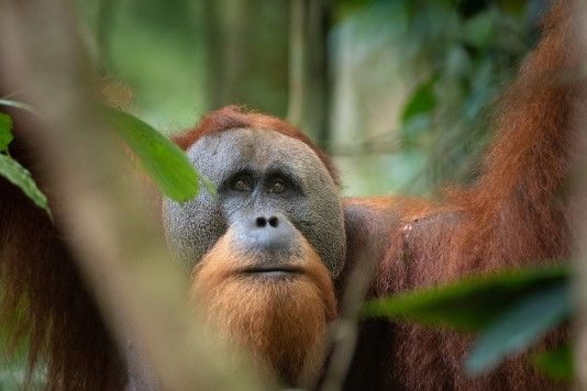 Visit the Sumatran Orangutan Society