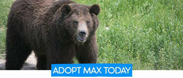 Adopt Max the Bear