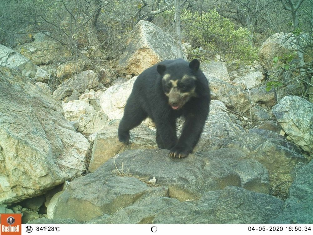 Camera traps are surely a bear necessity in conservation work!