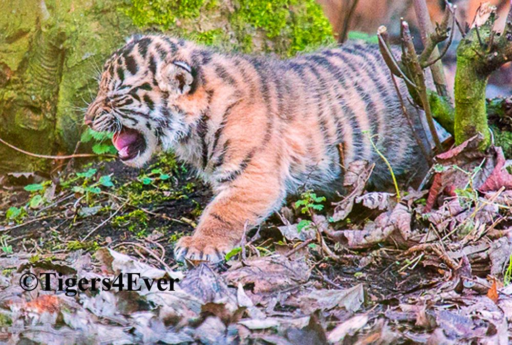 Help Tigers4Ever protect tigers