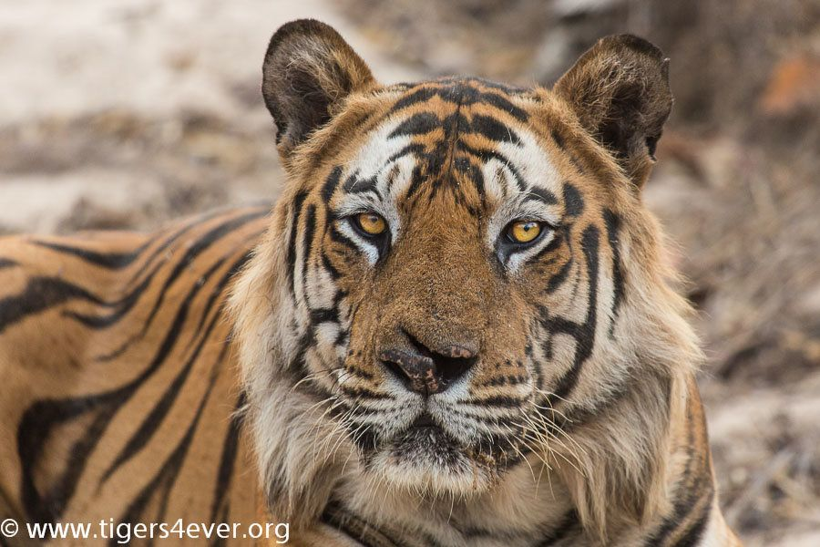 Tigers need our help - they need protecting
