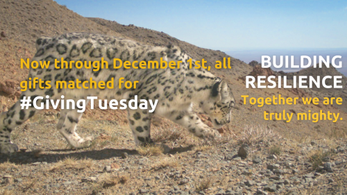Donate to the Snow Leopard Trust's fundraiser Buildling Resilience:  Together we are mighty