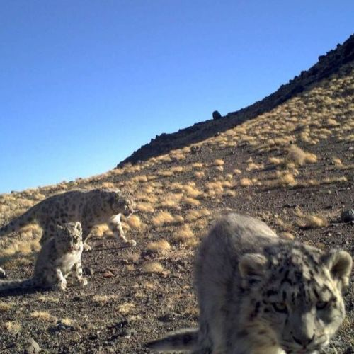 #GivngTuesday - help Snow Leopards
