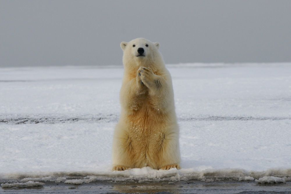 Polar bears gave me a journey of my own to make.