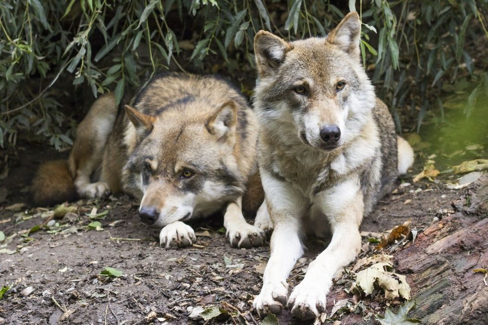 The Mexican Grey Wolf is just one species Defenders of Wildlife help