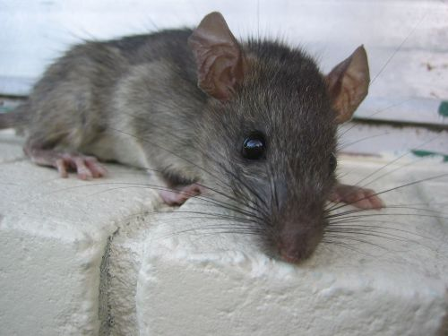 Ways to keep rats and mice away from your home humanely