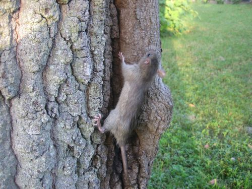 The website has information on things such as where to release a rat