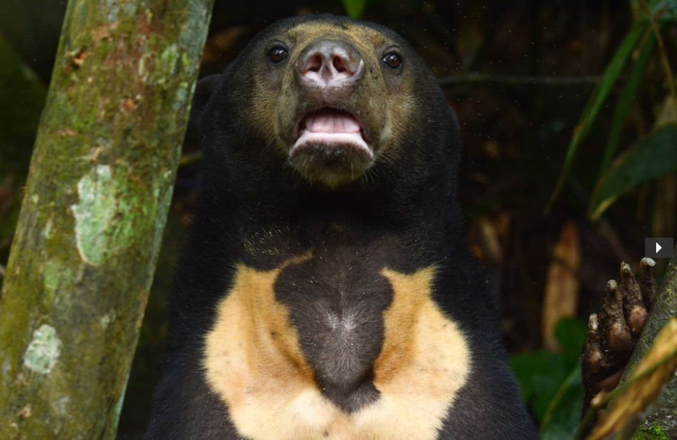 You could help sun bears in Borneo