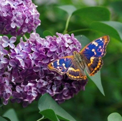 The rare purple emperor butterfly needs this habitat