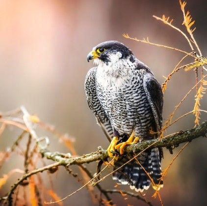 The peregrine falcon needs this habitat