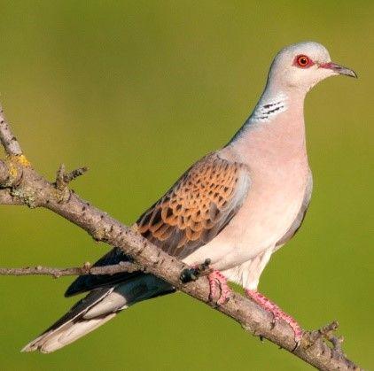 This beautiful turtle dove needs this habitat